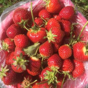 strawberries2016